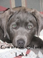 Kia Silver Lab Puppy